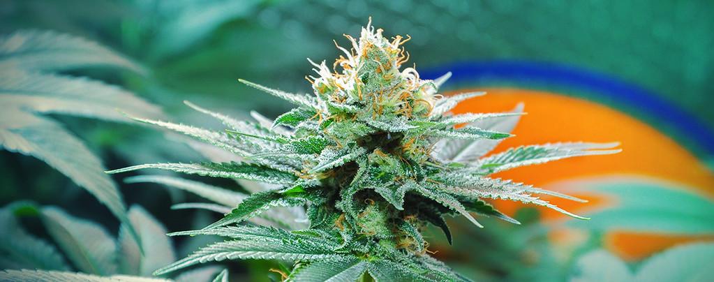 Origen De La Marihuana Amnesia