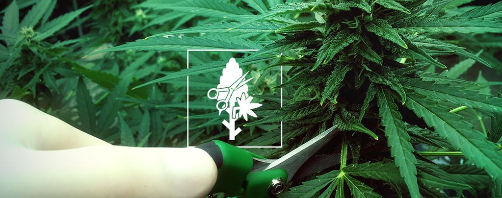 Las 4 Técnicas De Poda Más Adecuadas Para Plantas De Cannabis