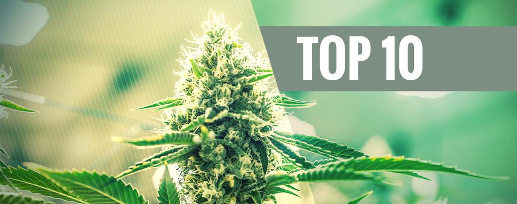 Variedades Cannabis De Kush