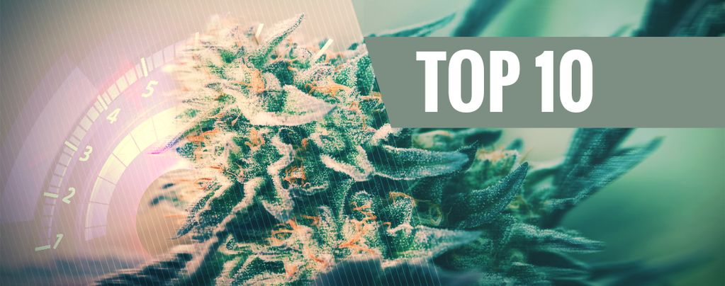 Variedades De Cannabis Rápidas