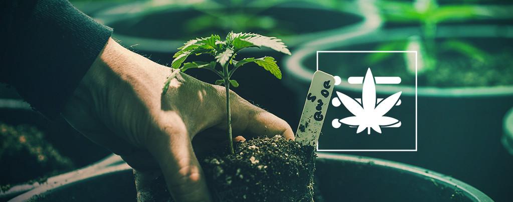 Tu Primera Planta De Marihuana
