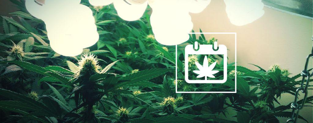 Varias Cosechas de Cannabis