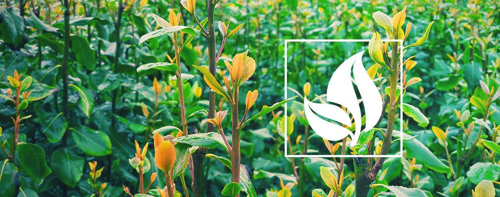 Qat (Catha edulis) 10 semillas