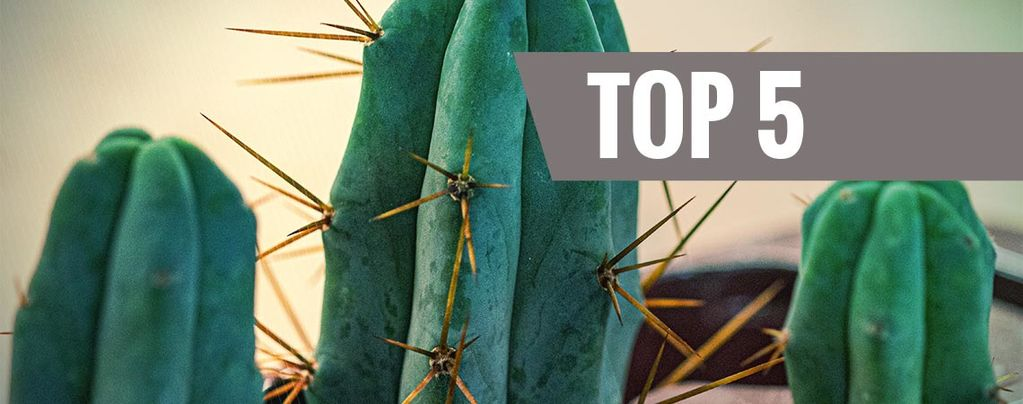 Cactus de Mescalina