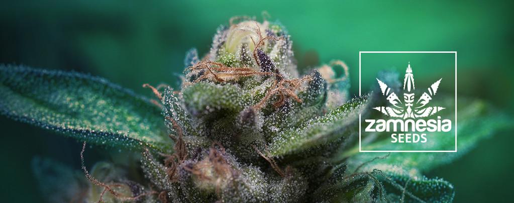 Auto Purple CousKush (Zamnesia Seeds) Feminizada