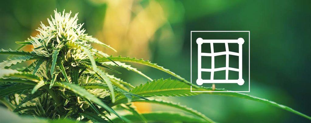 Cultivar Cannabis Según El Método ScrOG