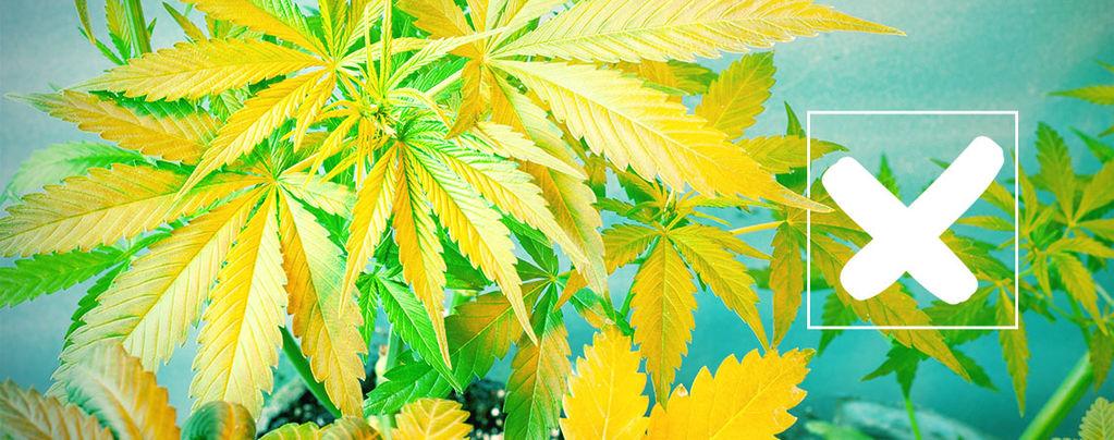Hojas De Cannabis Amarillentas