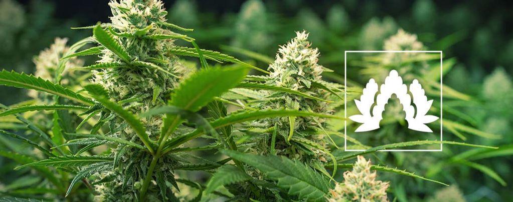 Mejores Variedades De Cannabis Para Cultivar En SOG