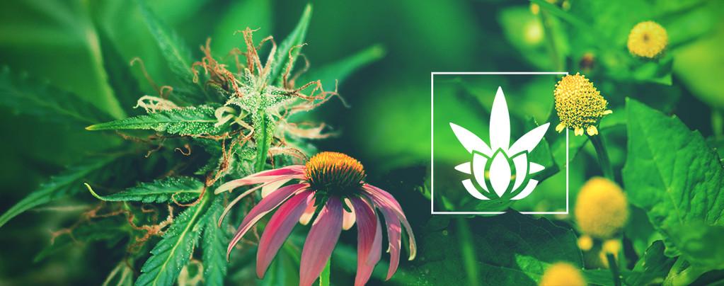 Otras Plantas Contienen Cannabinoides
