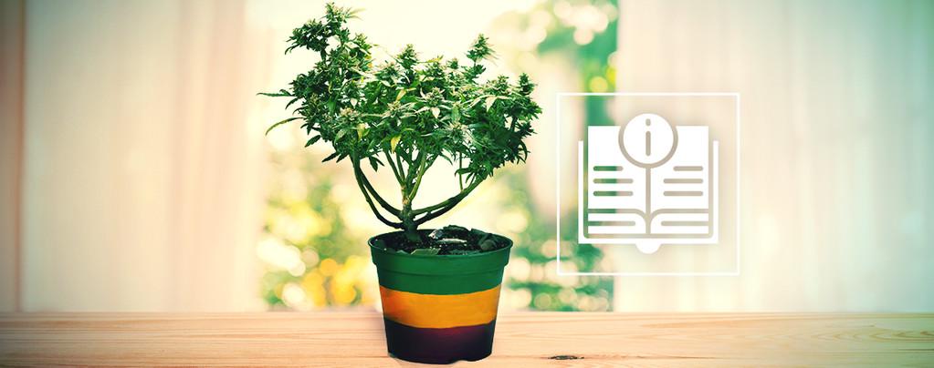 Todo Lo Que Debes Saber Sobre Los Bonsáis De Marihuana