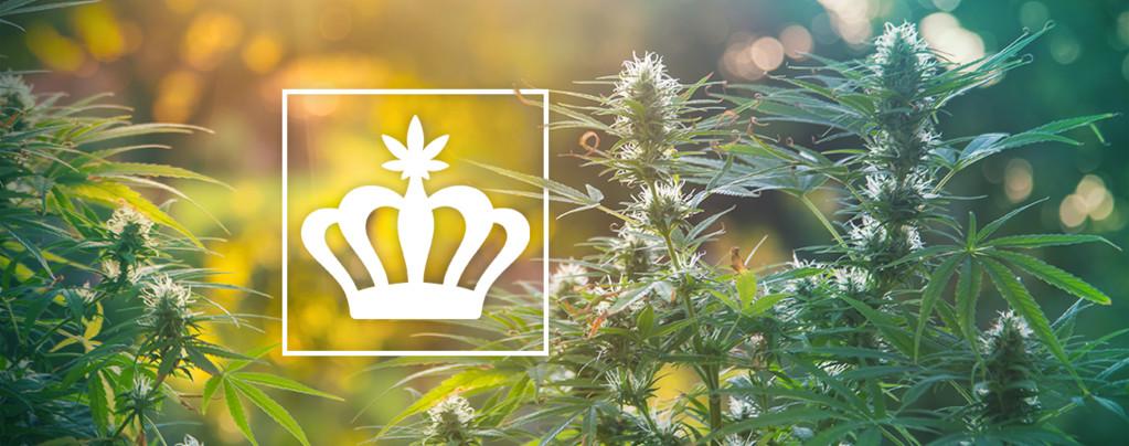Cannabis Puro o Heirloom