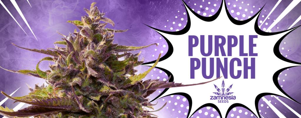 Purple Punch (Zamnesia Seeds) feminizada