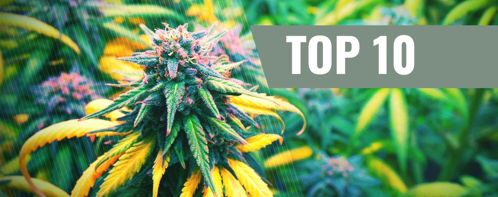 Top 10 De Cepas De Cannabis Para El Otoño