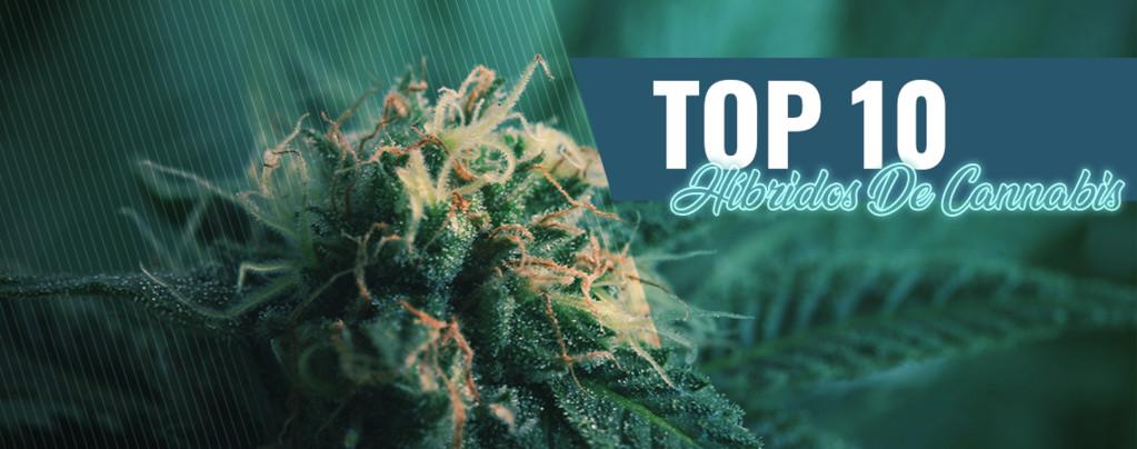 10 Mejores Coffeeshops De Ámsterdam Híbridos De Cannabis