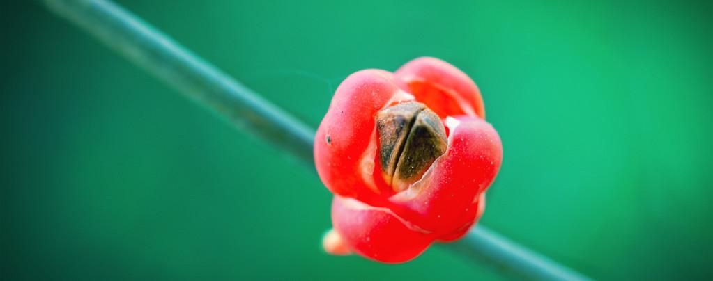 Efedra (Ephedra sinica) 20 semillas