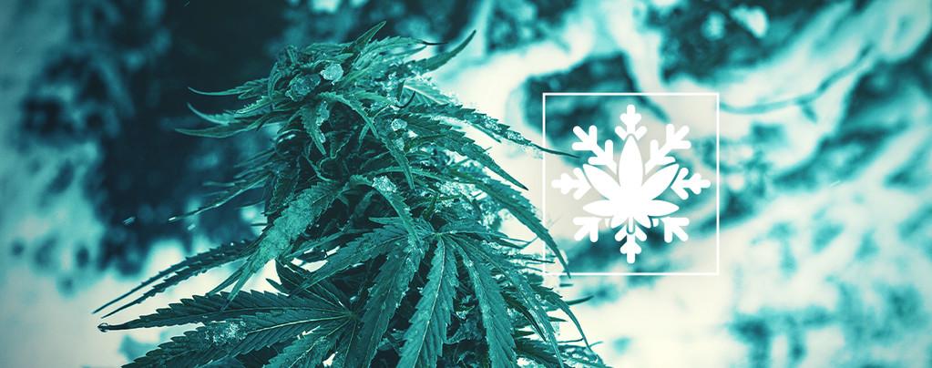 Cómo Cultivar Marihuana En Invierno