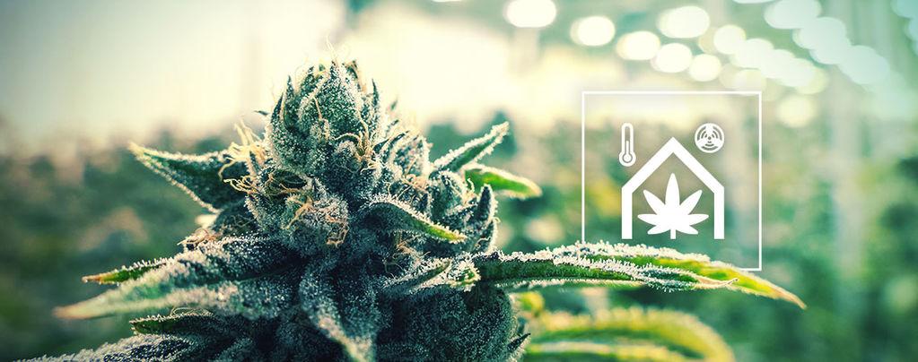 Cuarto De Cultivo De Cannabis Sea Más Fácil De Gestionar