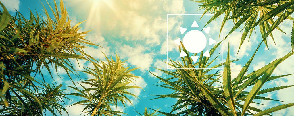 Cuánto Sol Plantas De Cannabis
