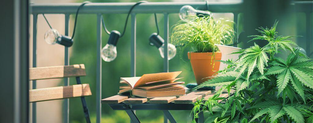 Las 10 Mejores Variedades De Marihuana Para Cultivar En Un Balcón O Terraza