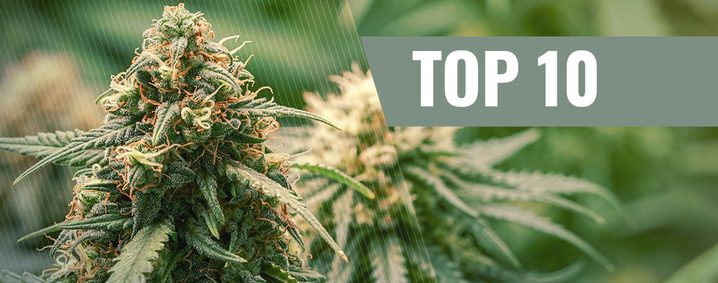 Variedades De Marihuana Haze