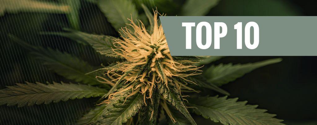 Las 10 Mejores Variedades De Marihuana Cheese