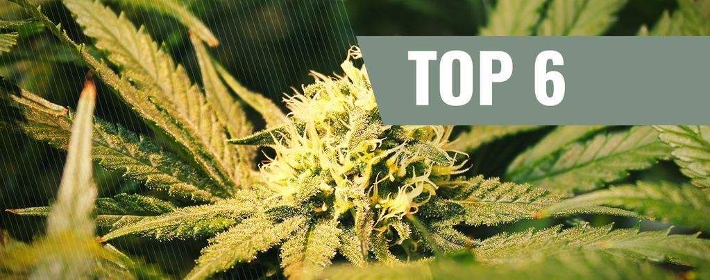 Variedades De Marihuana Ricas En THCV