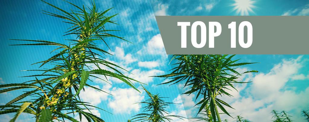 Cepas de Cannabis de Alto Rendimiento y Resistentes al Moho