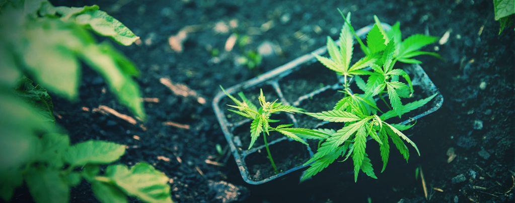 Cómo Trasplantar Marihuana Autofloreciente Correctamente