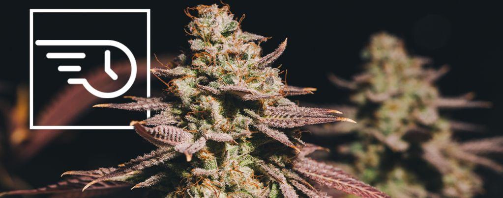 ¿Qué Es La Marihuana De Floración Rápida?