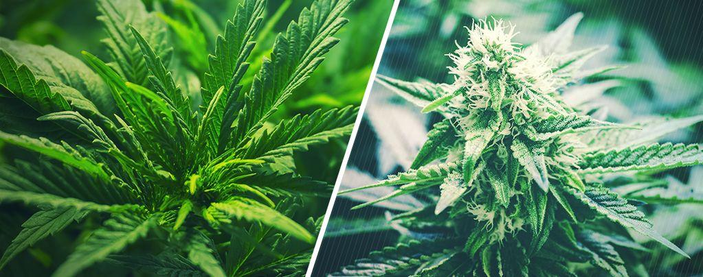 Cuándo Pasar De La Fase Vegetativa A La Floración De La Marihuana