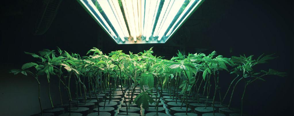¿Qué Es Un Medio De Cultivo Inerte Para Plantar Marihuana?