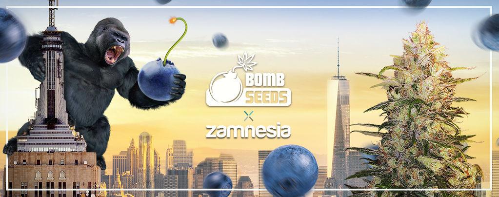 Bomberry Glue Auto (Bomb Seeds x Zamnesia) feminizada
