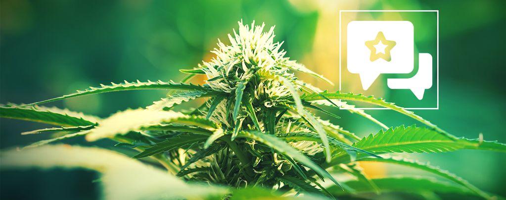 Super Lemon Haze: Análisis E Información De La Variedad De Marihuana