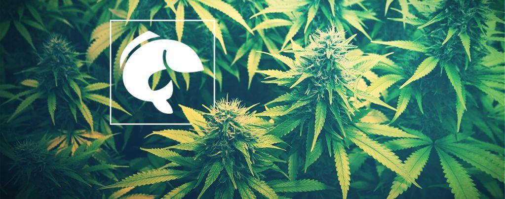 Guía Sobre El Uso De Acuaponía Para Cultivar Marihuana
