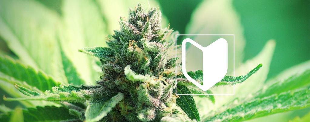 ¿Qué Necesitas Para Empezar A Cultivar Marihuana?