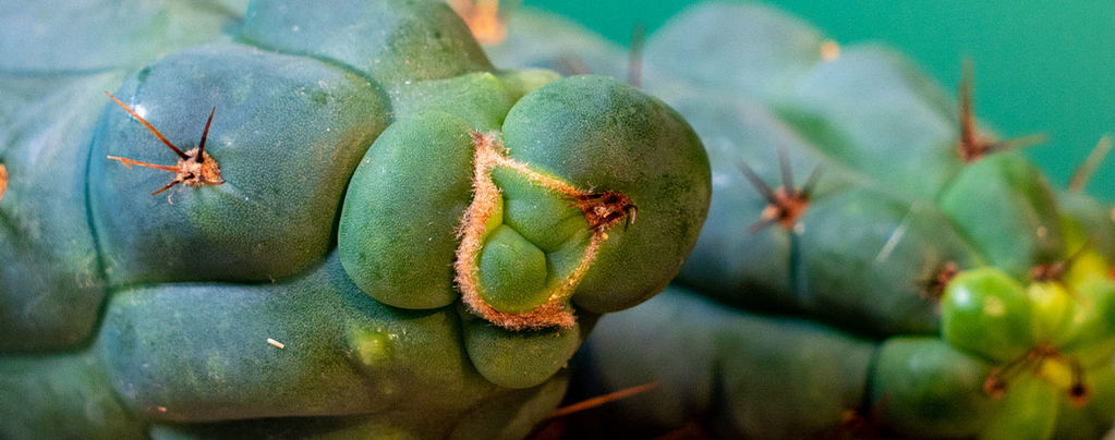 Echinopsis Zamnesiana - Nuestro Cactus De Mescalina Exclusivo