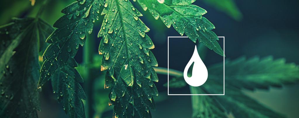 Agua Plantas de Cannabis