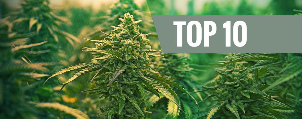 Cepas De Cannabis Feminizadas
