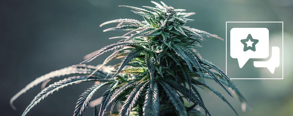 Northern Lights Cannabis