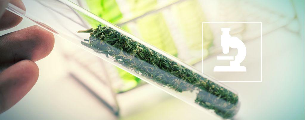 Más Allá de los Cannabinoides: Flavonoides, Terpenos y Terpenoides del Cannabis