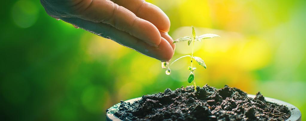 Té De Compost: Potenciador Natural Para Tus Plantas De Cannabis