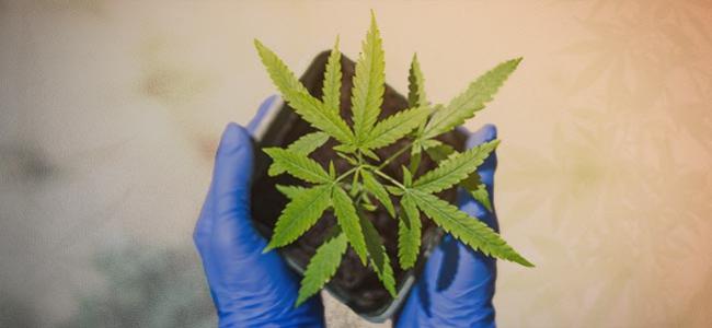 Cómo Cultivar Tu Primera Planta De Marihuana En 10 Pasos