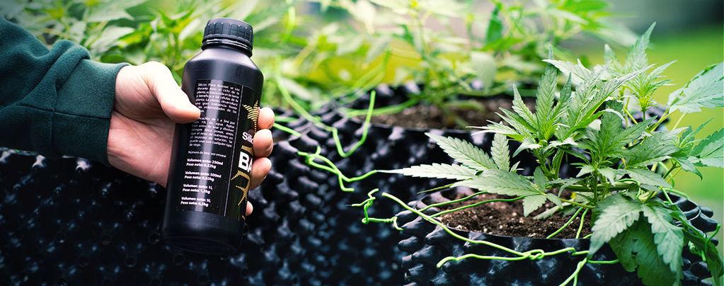 Cultivar Mega Cogollos De Marihuana Con Sílice