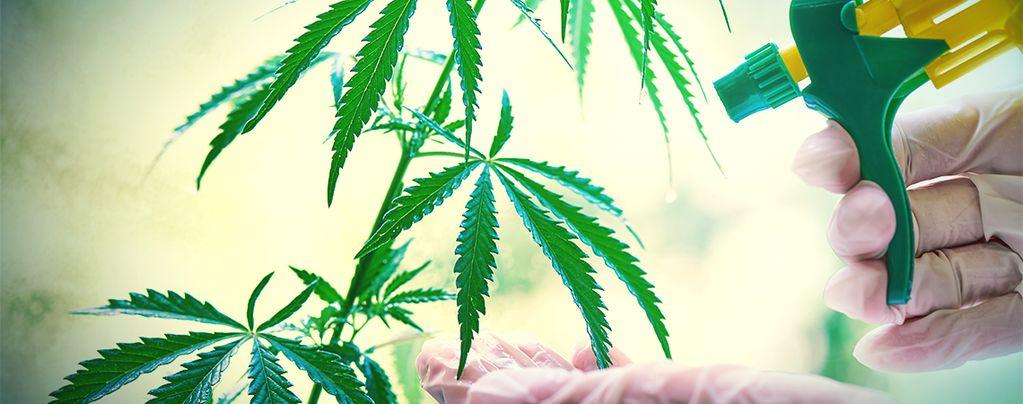Cómo Y Cuándo Aplicar Esprays Foliares A Tus Plantas De Marihuana