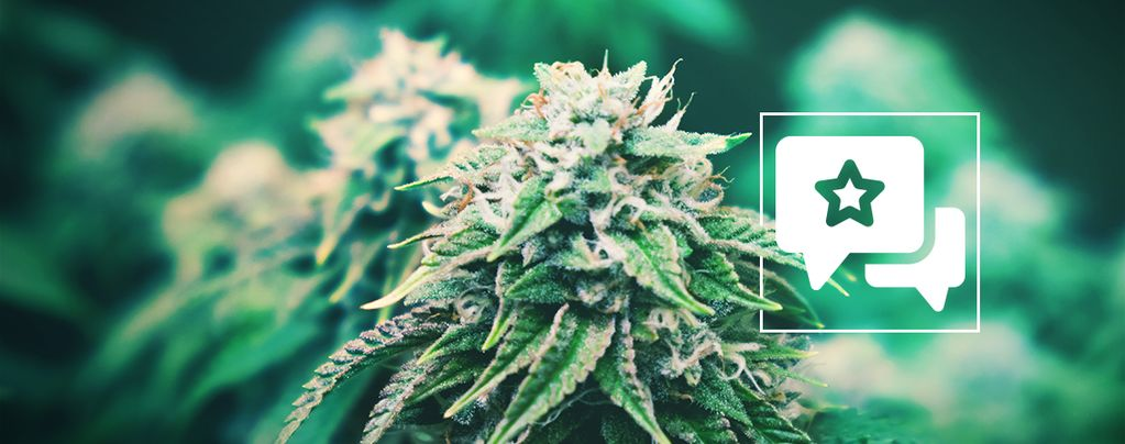 Agent Orange: Análisis E Información De La Cepa De Cannabis