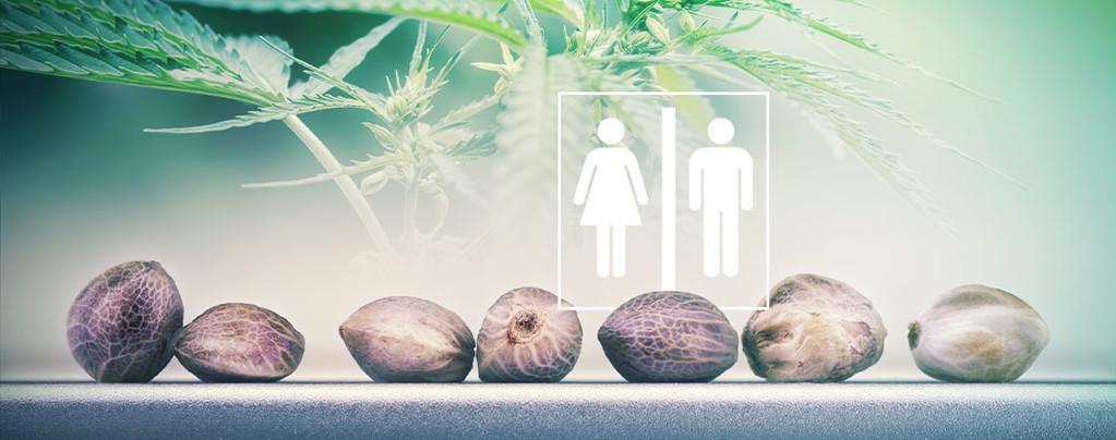 El Sexo De Una Semilla De Cannabis