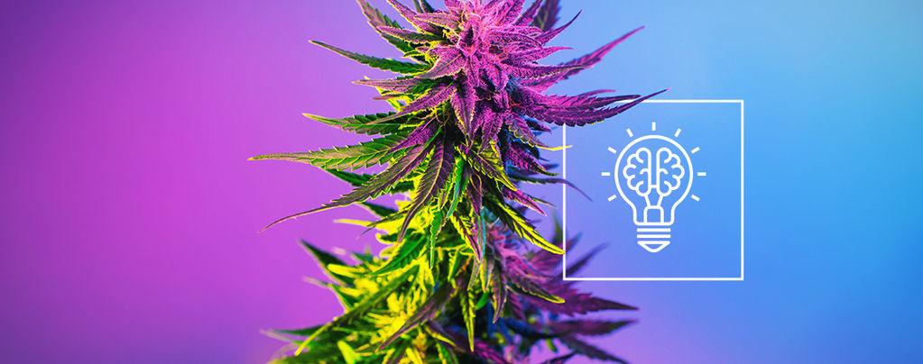 ¿Nos Hace el Cannabis Más Creativos?