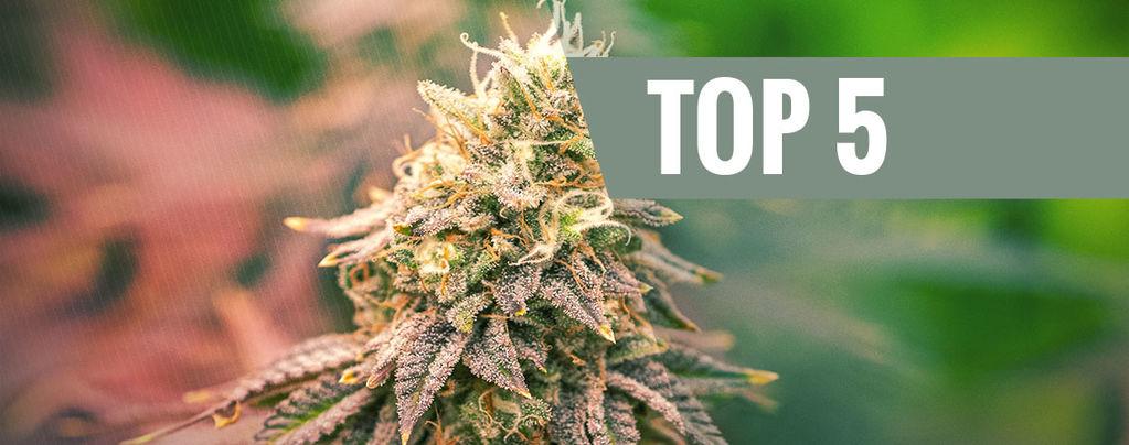 Top 5 De Variedades De Marihuana Índica Para El 2021