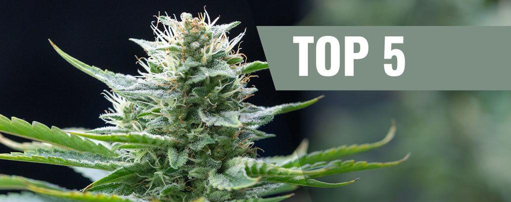 Top 5 de Variedades Sativa para el 2016