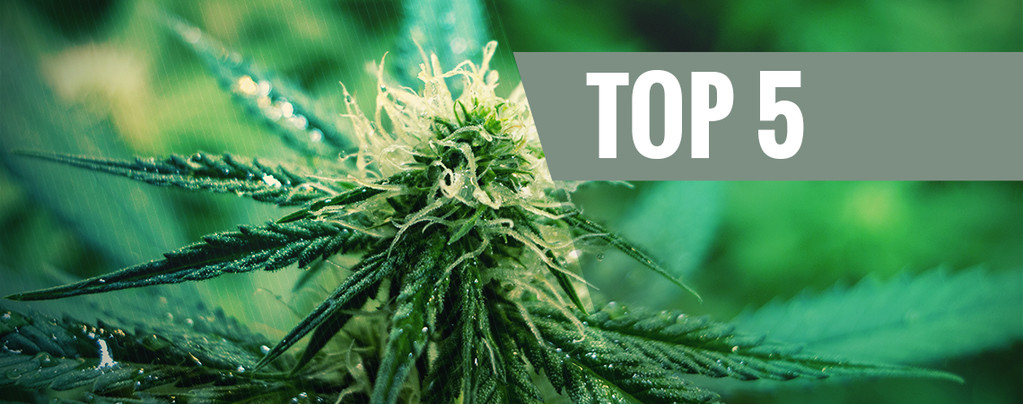 Top 5 De Variedades De Marihuana Sativa Para 2019